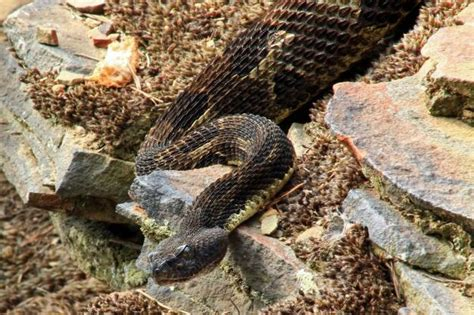 pa fish and boat commission internships on the trail of the timber rattlesnake the allegheny front