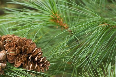 white pine tree care tips for planting white pines care of white pine trees in
