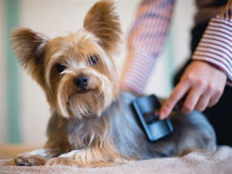 how to thin yorkies hair hair brush is in need for doggie wishforpets