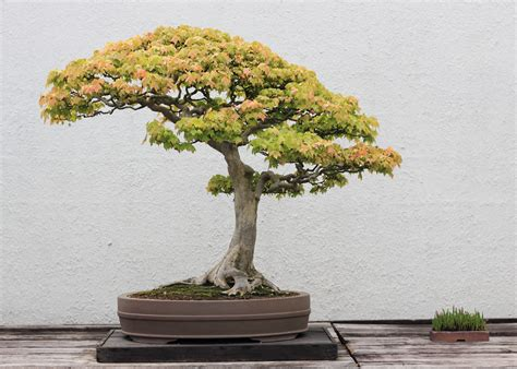 bonsai tree bonsai tree store finding the best trees