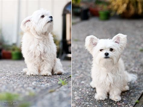 maltese grooming styles with long and short hair marcie lynn photography san francisco bay area