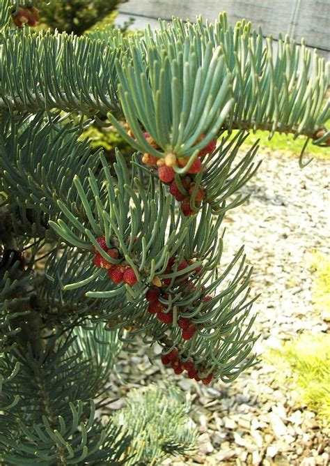 wann koniferen schneiden koniferen pflanzen koniferen 003 schneiden pflanzen