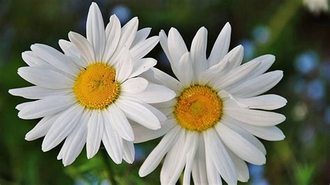 daisy facts fun facts about daisy flowers history youtube