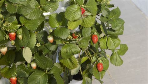Wall Sticker Zs092 Strawberry In Garden can you grow strawberries minigarden us