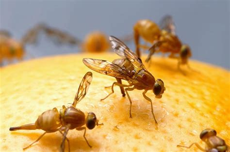 Getting Rid Of Fruit Flies In Kitchen by Get Rid Of Fruit Flies In Your Kitchen 107 7