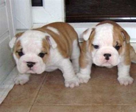 free bulldog puppies puppy dogs bulldog puppies