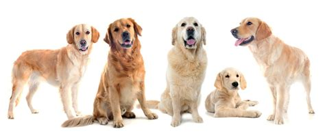 are golden retrievers family dogs golden retriever names naming dogs
