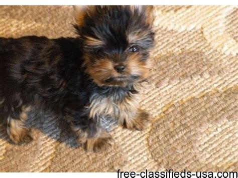 baby yorkies for free gorgeous baby yorkie puppies for sale animals beaufort missouri