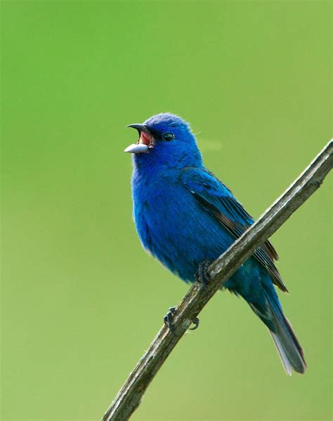 nw bird blog indigo bunting