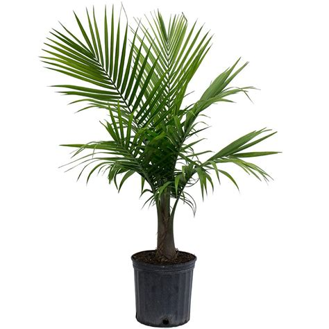 delray plants cateracterum palm in 9 1 4 in pot 10cat delray plants 9 1 4 in majesty palm in pot 10maj the