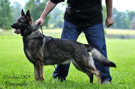 german shepherd puppies md german shepherd puppies dc metro area frederick maryland