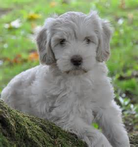 labradoodles puppies for sale australian labradoodle puppies for sale northwest