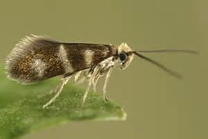büchner beleuchtung bestimmungshilfe des lepiforums micropterix aureoviridella