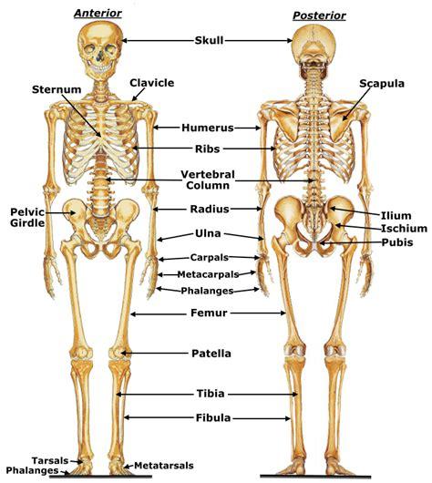 human skeletal system diagram the bare bones an overview of the skeletal system madwayoga