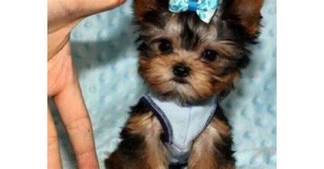 yorkie puppies in panama city florida teacup yorkie puppies 2 5 lbs 4 lbs micro tiny cutest