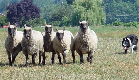 how to a to herd sheep herding with clun forest sheep