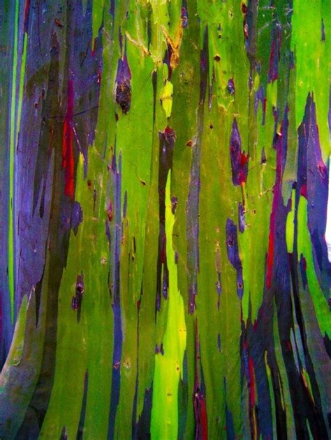 rainbow eucalyptus rainbow eucalyptus tree bing images collage material