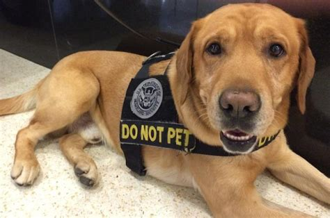 how to bomb sniffing dogs the tsa wants you to adopt their retired bomb sniffing dogs