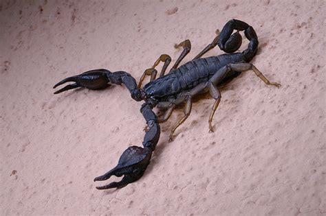 scorpione in casa scorpioni in casa sono un pericolo exera srl