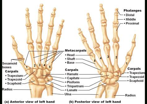 anatomy bones anatomy of the wrist bones human anatomy wrist bone anatomy and wrist bones