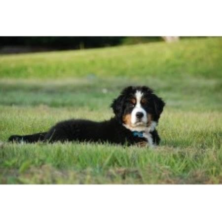 bernese mountain breeders pa bernese mountain puppies for sale berners dogs breeders breeds picture