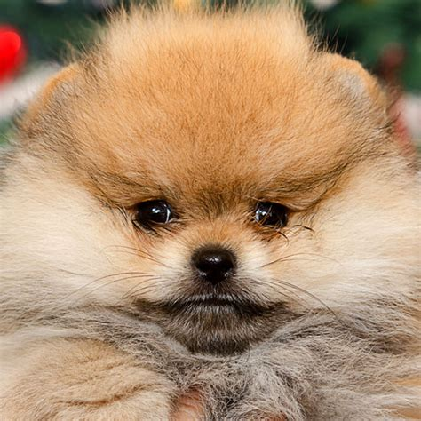 hair loss in pomeranian dogs what causes hair loss in dogs