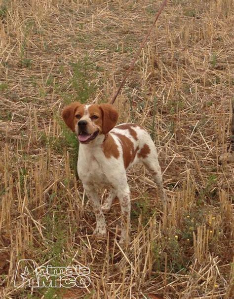 Topi Breton vendita cucciolo breton da privato a grosseto cani breton