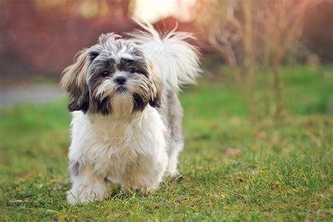 breeds similar to shih tzu fascinating breed name origins reader s digest