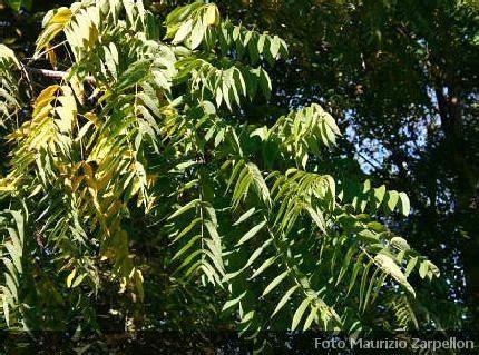 alberi con fiori bianchi alberi con fiori bianchi le foglie ellittiche molto