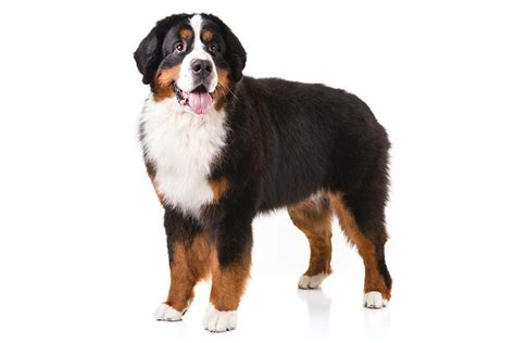 how to a bernese mountain bernese mountain breed information