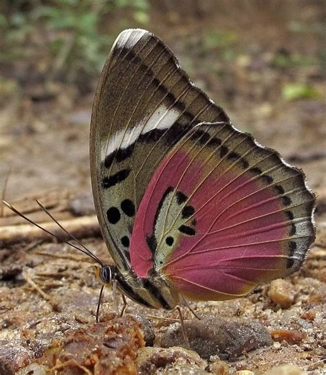 Kupu Set Pink 95 best kupu images on butterflies paper butterflies and beautiful butterflies