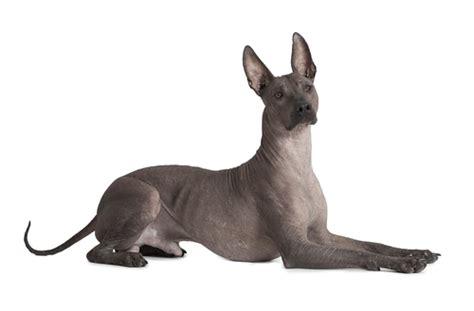 Xoloitzcuintle, il cane nudo elegante e misterioso
