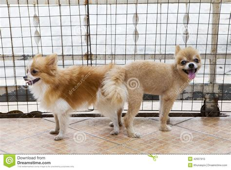 pomeranian mating and pomeranian mating stock photo image 42937915