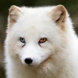 arctic fox color 13 unusually beautiful animals with different colored