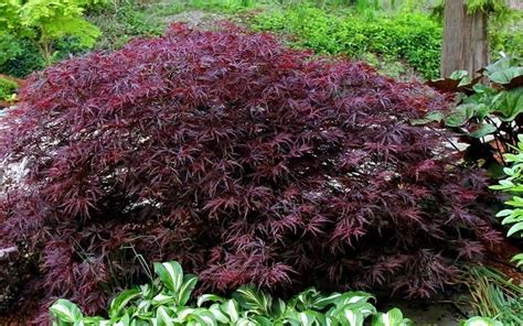 japanese maple tree leaves photosynthesis buy japanese maple for sale from wilson bros gardens