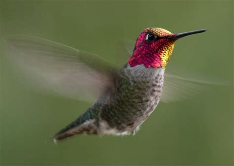 hummingbird history and some interesting facts