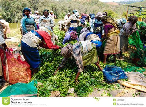 harvesting plantations in tarkeeth state harvesting tea editorial stock photo image 54286603