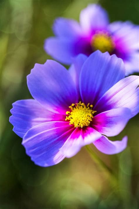 flower homes cosmos flowers