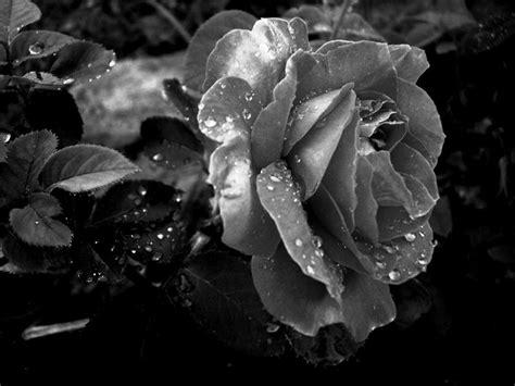 wallpaper black and white roses black and white rose wallpaper