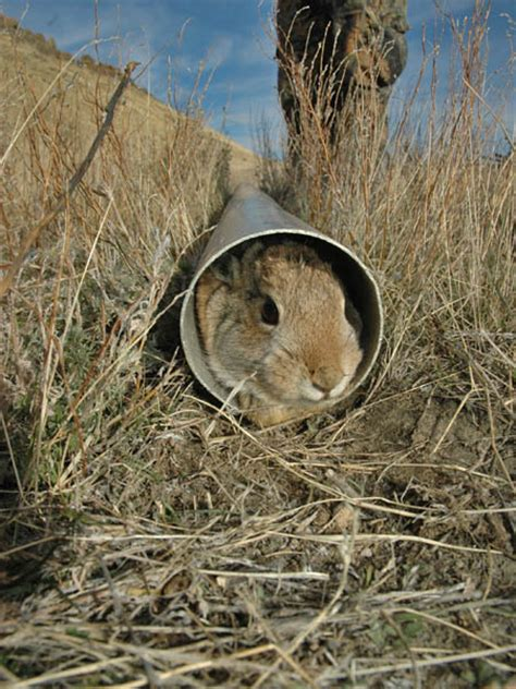 how to a to rabbit hunt hunt rabbit food to bag more bunnies
