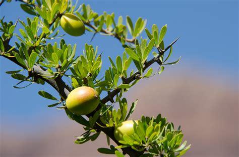 argan tree fruit argan fruit argania spinosa fruit which will be used to