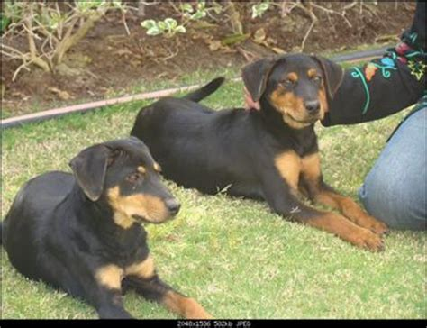 4 month rottweiler rottweiler 4 months dogs in our photo
