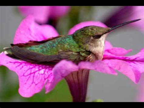 best 28 do hummingbirds like petunias broad billed