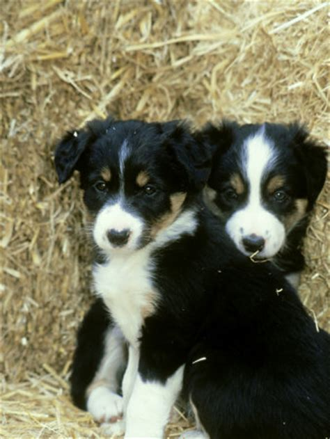 border collie puppies border collie puppies images puppies pictures