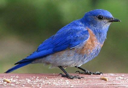 western bluebird identification all about birds