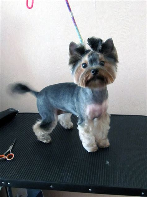 pictures of yorkies with puppy cuts cut yorkie www pixshark images galleries with a bite