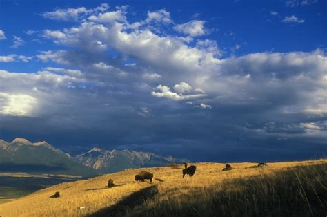 service montana 15 facts about our national mammal the american bison u s department of the interior