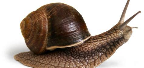 un caracol a snail cr 237 a de caracol helix aspersa abc del finkero