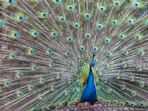 colorful peacock colorful peacock 183 free stock photo