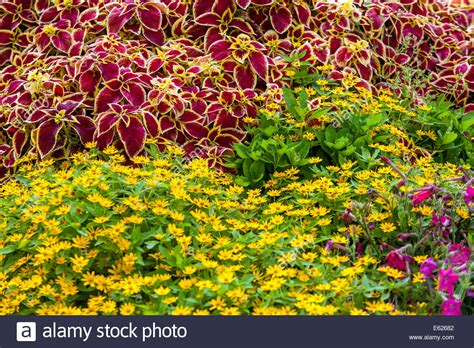 colorful flower bed of annual flowers coleus blumel